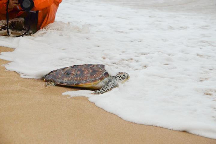 福智參與綠蠵龜「蟹蟹」野放