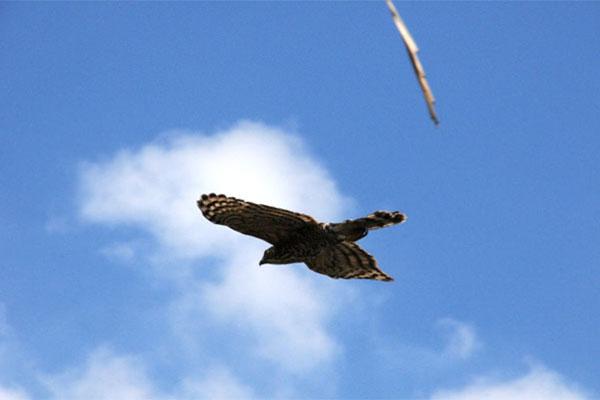 傷癒後的蒼鷹重返天際