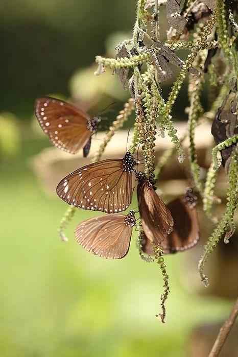 狗尾草上的斑蝶群