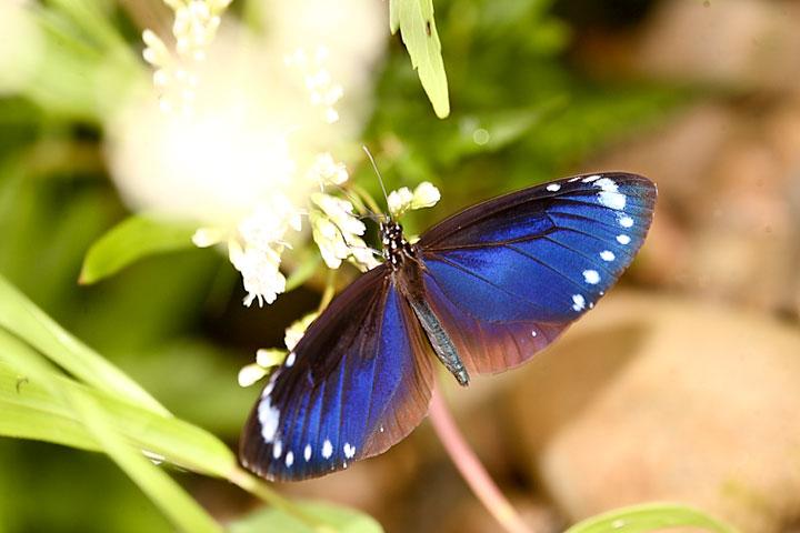 小紫斑蝶展翅