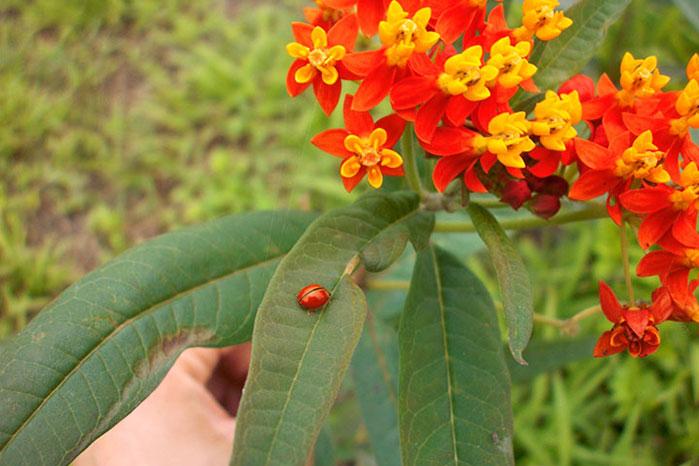 馬利筋葉子上的橙瓢蟲(照片由慈心基金會提供)