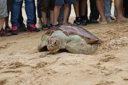 恢復健康的海龜們,揮別眾人,重回海洋