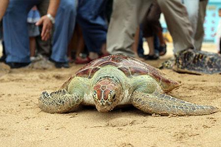 海龜奮力爬向大海