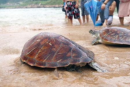 海龜們在眾人祈願與祝福下,悠揚的游回大海