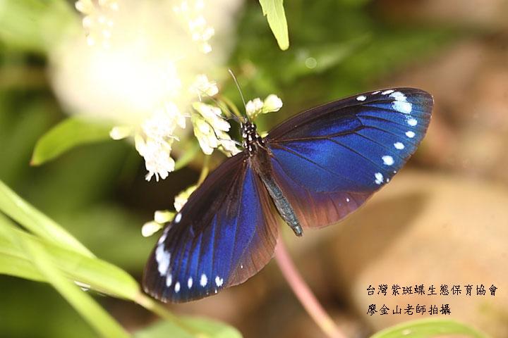 綠色保育的紫斑蝶(台灣紫斑蝶生態保育協會 廖金山老師拍攝)
