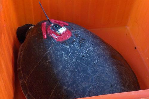 綠蠵龜「卡卡」重回大海懷抱