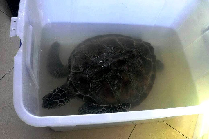 保育類野生動物綠蠵龜「安安」
