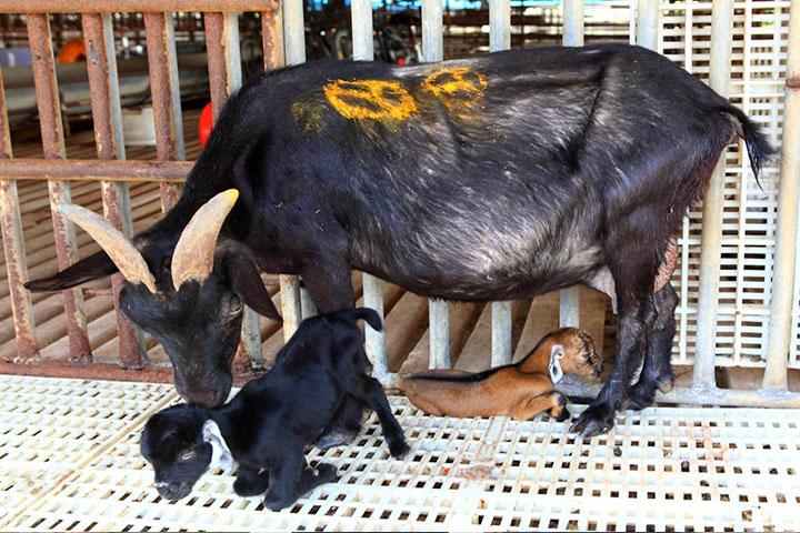 再被屠宰的路上幸運被救回的母羊