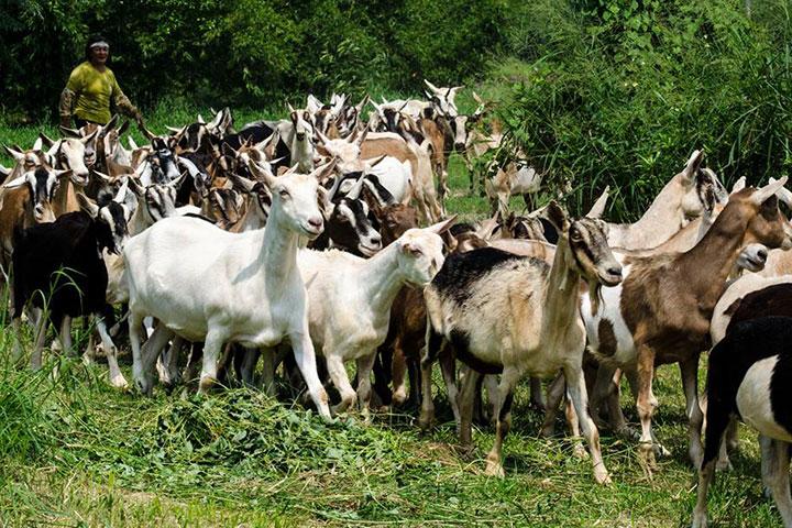 福智關廟護生教育示範園區乳羊活動情形