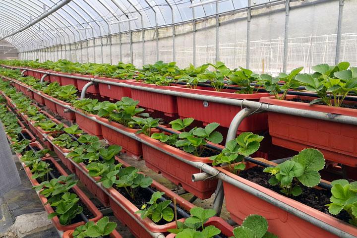 向日農場的有機草莓