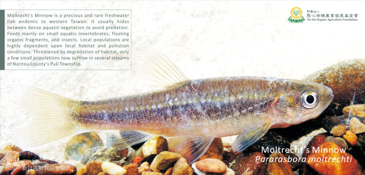被復育的埔里白魚