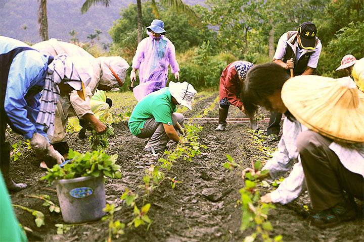 協助臺東達魯瑪克部落種紅藜