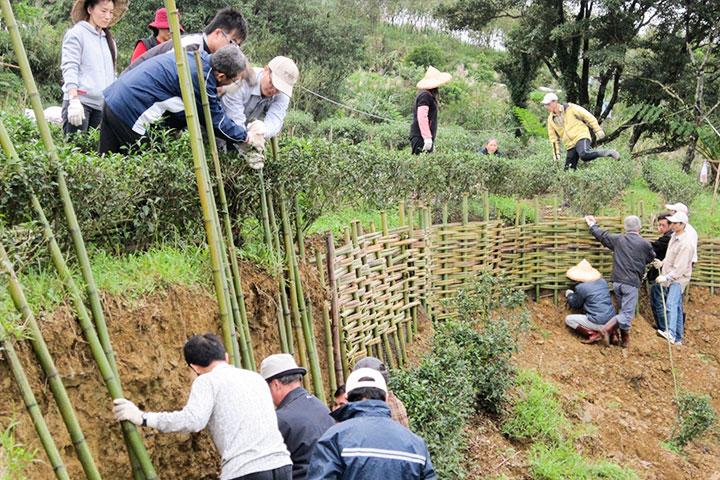 慈心淨源計畫10年有成,打造有機茶產業新典範