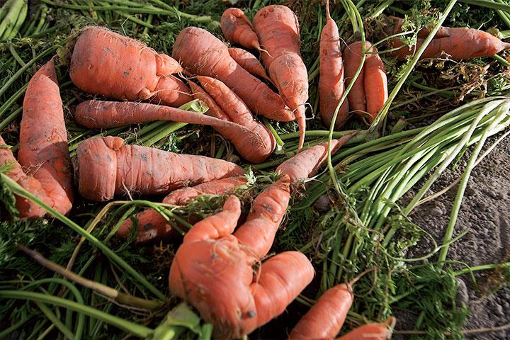 五爪紅蘿蔔