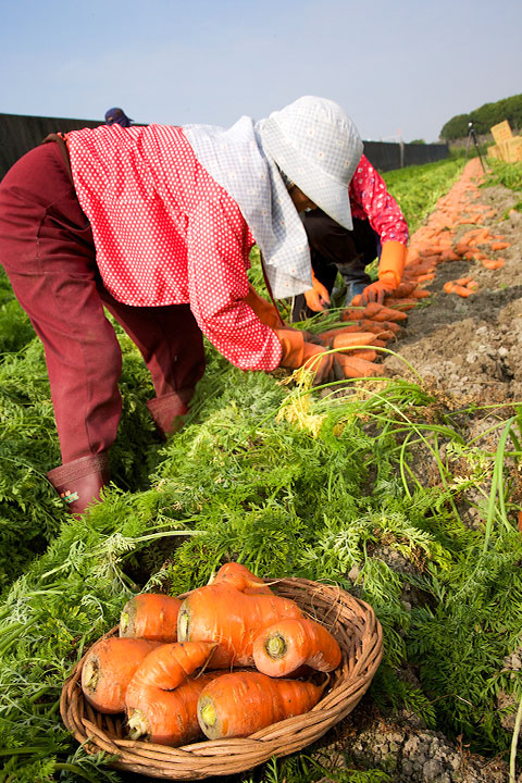 農友耕種出形狀如同五爪一般、大小不一的紅蘿蔔。