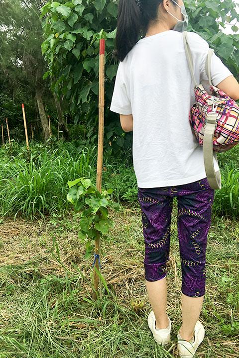 2017年雲林麥寮海岸林更新,種植4個月後,沒有使用水寶盆種植的樹苗狀況