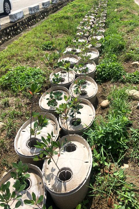 2018年5月台中港海岸地區綠美化,初種樹苗成長狀況