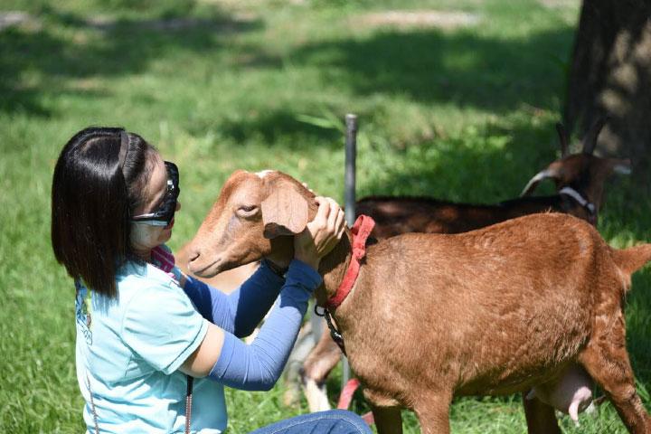 福智關廟護生教育示範園區收容的乳羊群