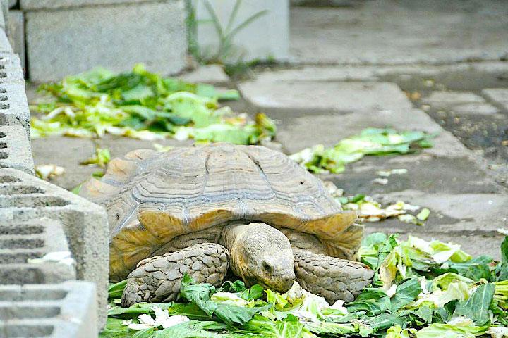 福智關廟護生教育示範園區收容的蘇卡達象龜
