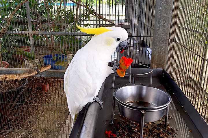 福智關廟護生教育示範園區收容的鸚鵡「巴比」