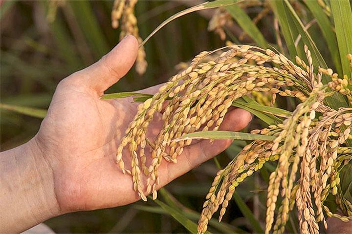 吃米健康護地球,里仁發起「捐有機米送愛心」