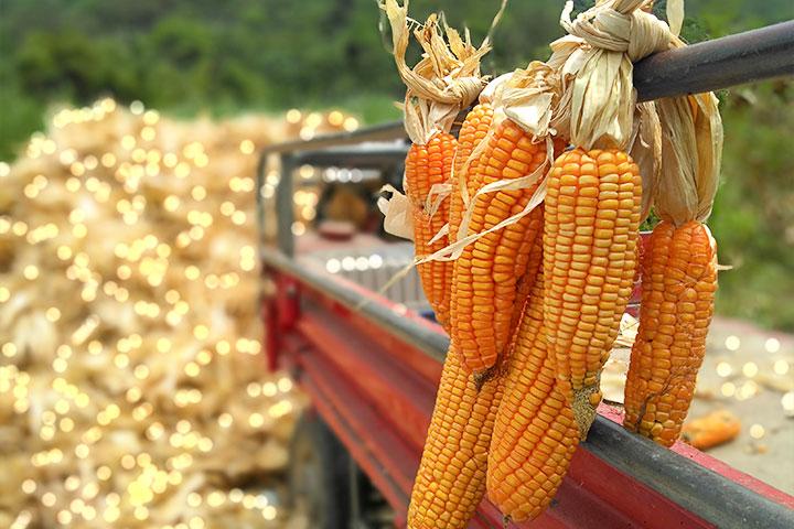 剛收成的硬質玉米