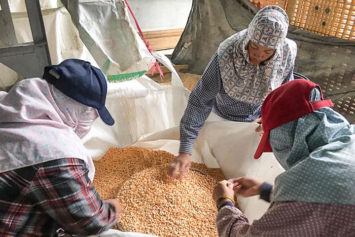 硬質玉米採收後進行人工篩選