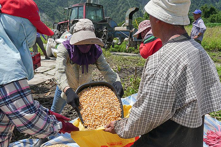 部落農友合力採收硬質玉米
