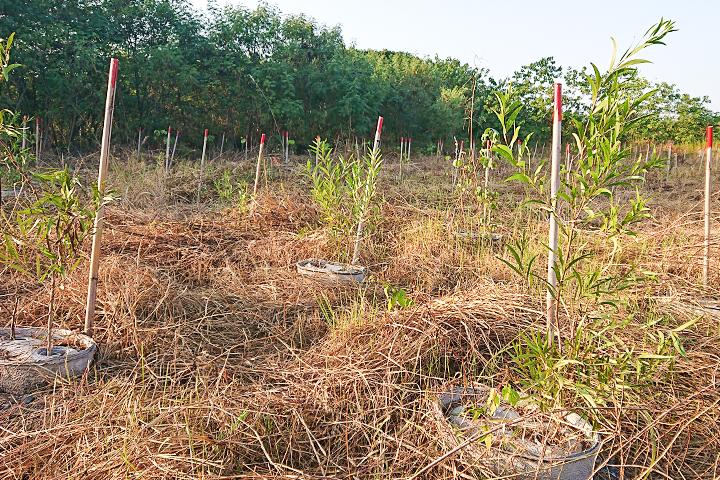 在雲林西螺濁水溪高灘地新植7千棵苗木,搭配種樹利器水寶盆讓苗木順利生長,發揮抑制揚塵攔沙功效