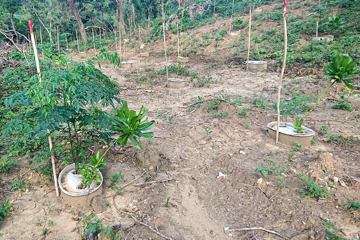 屏東恆春地區因外來植物銀合歡入侵,慈心基金會強勢清除並種植在地原生苗木
