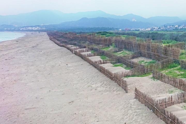 新北萬里的海灘上,以攔砂籬配合海岸造林,鞏固海岸第一線