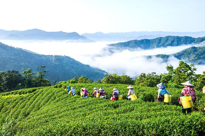為保護水源,在集水區推廣有機綠保友善耕作,並成立慈心有機淨源茶場