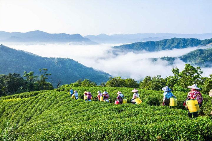慈心基金會為保護水源,自2009年起推動淨源計畫,在集水區推廣轉作有機茶