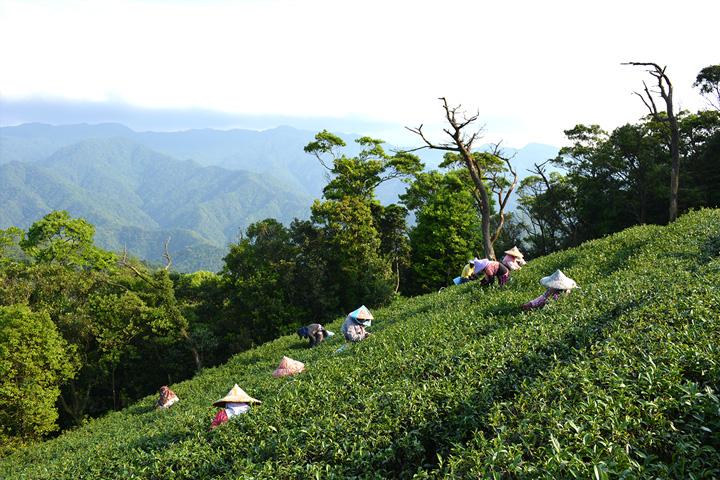 淨源茶場從各地邀請採茶阿嬤,烈日下一頂頂斗笠隱沒在有機茶園間,只為保留每一片珍貴的有機茶葉