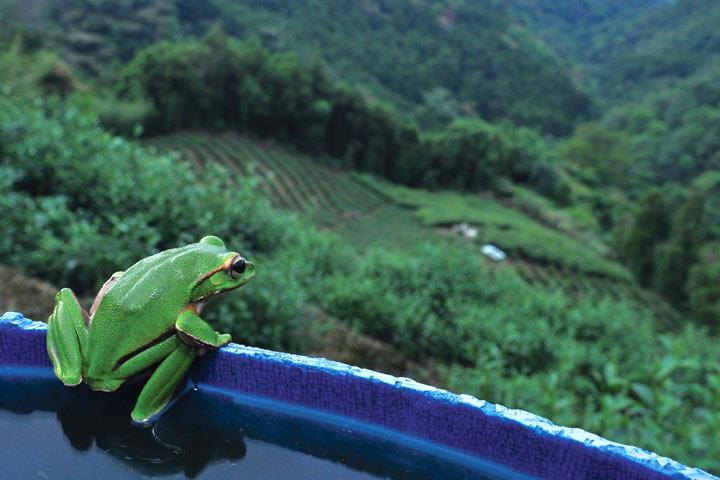 透過慈心基金會輔導坪林茶園轉作有機後,過去用來稀釋農藥的藍色水桶,如今成為翡翠樹蛙最佳的繁衍環境。( 攝影 / 陳賜隆博士 )