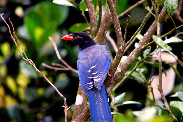淨源計畫的有機茶園,可見特有保育動物─臺灣藍鵲(長尾山娘)的身影