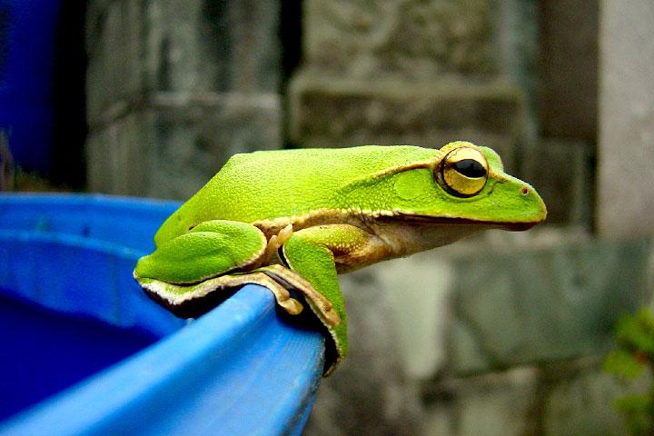 臺灣特有保育物種「翡翠樹蛙」也會光臨有機茶園