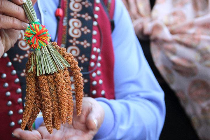 慈心推動臺東小米復耕,守護臺灣糧食安全,也傳續部落傳統文化