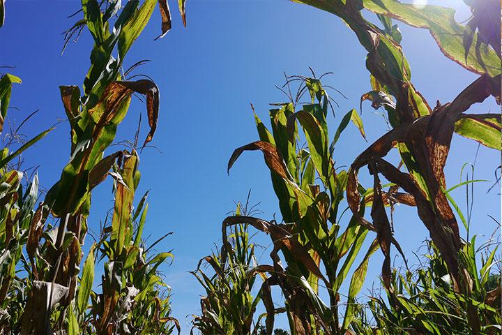慈心協助花東四部落以「本土硬質玉米」串起友善農業、部落經濟、文化傳承的發展模式