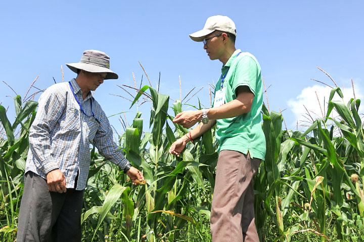 慈心有機農業發展基金會輔導部落種植耐運輸儲存、易轉作有機、加工多元性高的「硬質玉米」作為主要發展作物