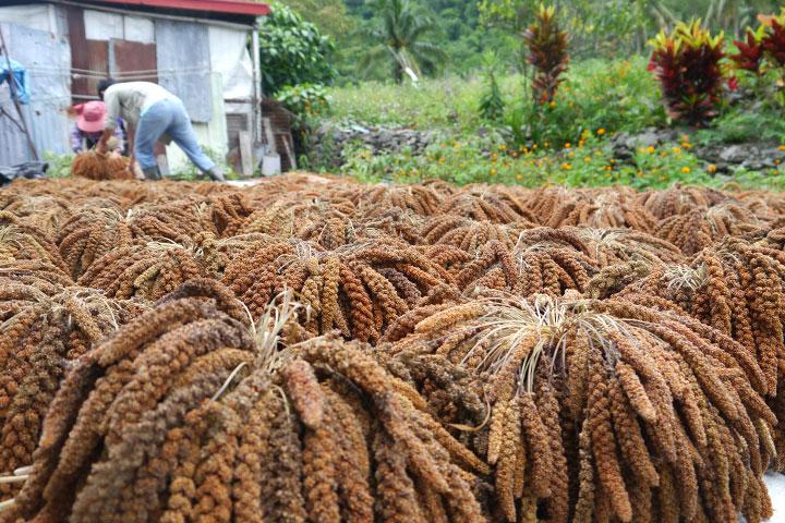 慈心協助部落鏈結二、三級產業,讓豐收的小米順利加工、銷售