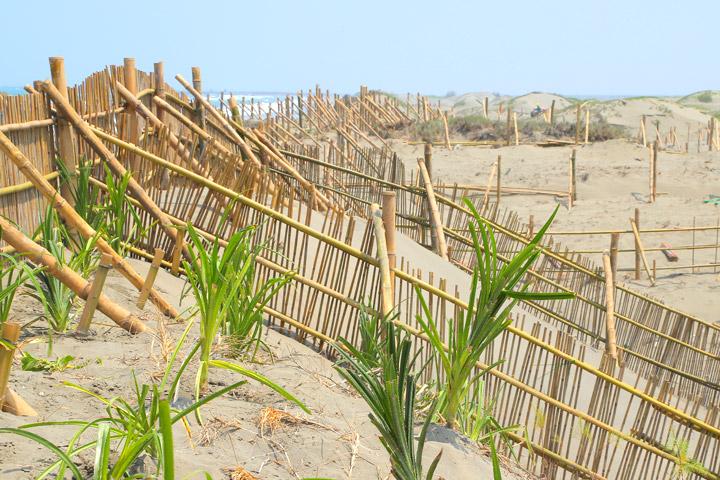 慈心基金會在網仔寮汕的窄域沙丘設置堆砂籬,可攔砂積沙、增加沙源,保護小樹苗安全成長