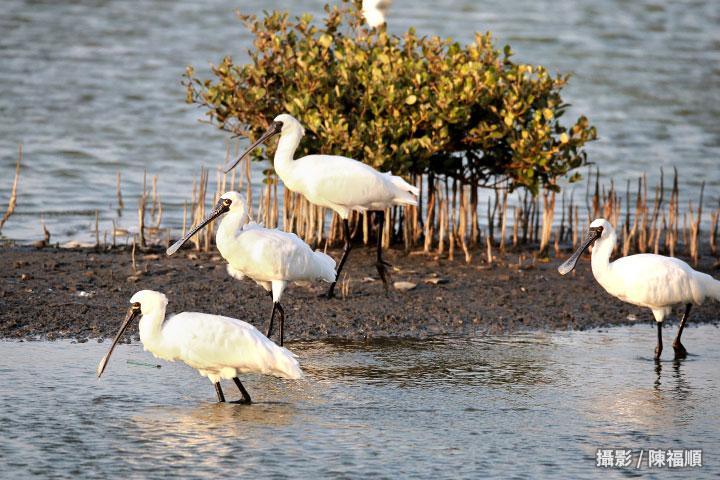 海岸造林能復育沙洲,守護七股潟湖所涵養的黑面琵鷺等200多種過境鳥類