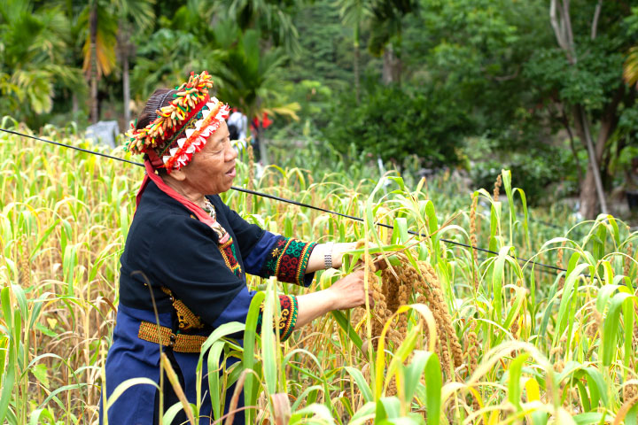 慈心有機農業發展基金會重建「花東六級化產業鏈」推動小米復耕,期盼保存小米地景、多樣化小米品系、原住民智識系統、生物多樣性