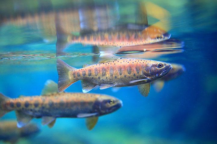 臺灣國寶魚櫻花鉤吻鮭(雪霸國家公園管理處提供/吳誌堂拍攝)