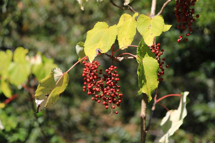 慈心種樹團隊「櫻花鉤吻鮭棲地復育造林」計畫將種植山桐子等具生態意義的樹種,恢復在地針闊葉混和的森林原貌
