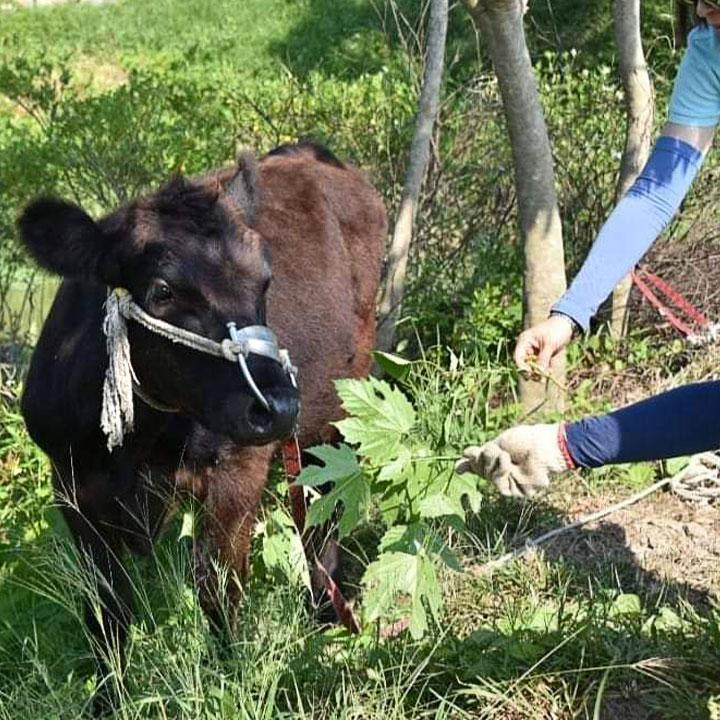 打工換宿的小牛